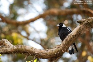 Australian Magpie - 01 by shiroang