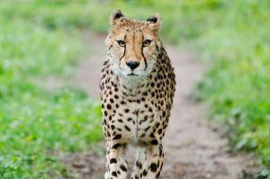Cheetah IV by werram