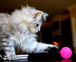 Siberian Kitten and Toy no. 1 by Mischi3vo