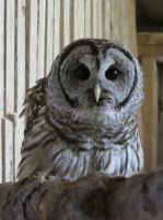Hamlet the Barred Owl 5a by Windthin