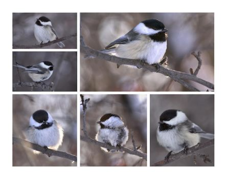 The Chickadee Collection by dove-51