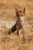 Fox by JMrocek