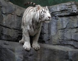 White tiger by BELOST