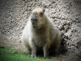 Capybara by HDevers