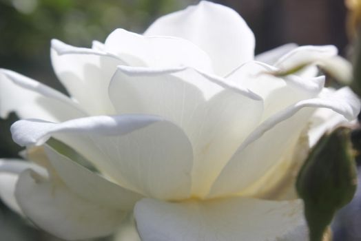 white petals by Or-else-what