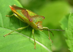 Green insect by zwierzak