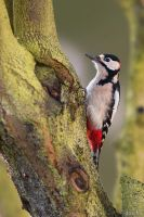 Great Spotted Woodpecker / Buntspecht by DaSchu