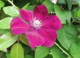 Lilac clematis 7 by Kattvinge