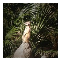 suricate by Russianwhite