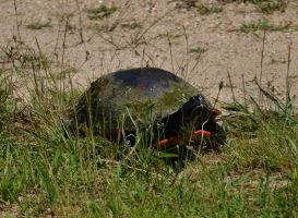 Red Bellied Turtle by Matthew-Beziat