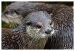 Otter 4 by OrcOPhoto