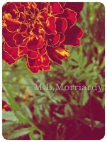 Red flower by Morriardy