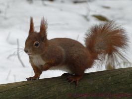 Squirrel 18 by Cundrie-la-Surziere