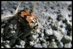 Mottled Lady Beetle by PurlyZig