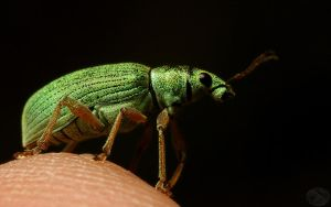 Weevil looking out by webcruiser
