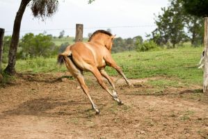 km foal buckskin canter behind 3/4 view by Chunga-Stock