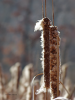 Cat tails by Mogrianne