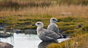 Seagulls at Howth by aryss-skahara