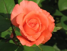 Autumn Roses 5 by Jyl22075