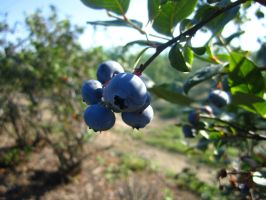Blueberries by isana