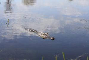 Alligator by CharlieA-Stock