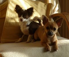 Chihuahua Puppies now 6 months old. by aldwarke