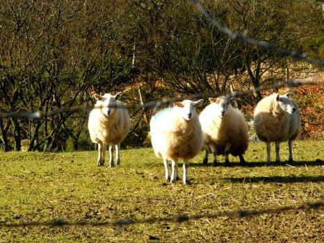 Sheep in County Wicklow by Pantoufle3