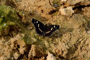 Black butterfly I by Salvada