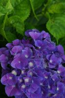 Purple hydrangea by lakeglenmiss