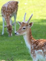 deer by pagan-live-style
