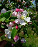 Apple tree flower 2 by Solct