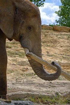 African elephant by Ana-photographie