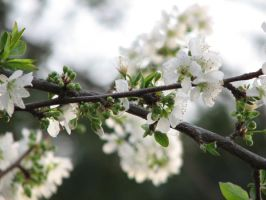 white plum flowers 3 by melloncolliebaby