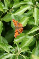 Comma Butterfly by Singingnaturist