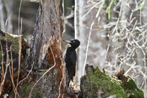 Black woodpecker by BIREL