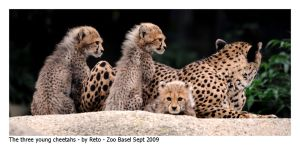 Young Cheetahs 2 by Reto