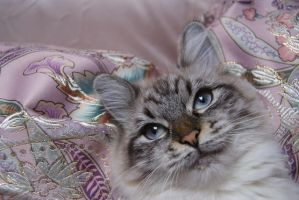 siberian cat by maltissimo