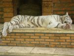 Sleeping Tiger by seawaterwitch