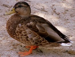 American Black Duck by PaganFireSnake