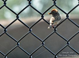 Chipping Sparrow by Sic-Vita-Est