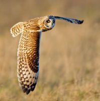 Silence is golden - Short-eared Owl by Jamie-MacArthur