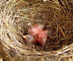 Robin Babies by JMcCarty09
