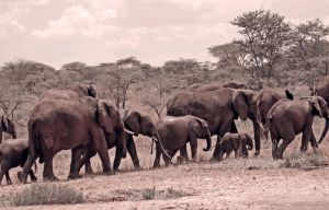elephant group tanzania by lindaatje