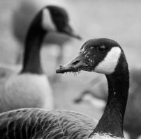 Goose eating grass by inacom