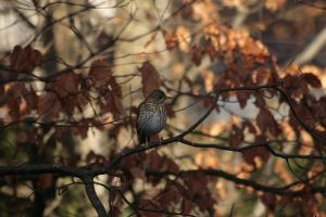 Song Thrush by Tinap