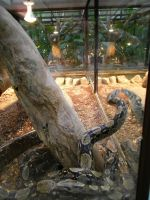 Boa Constrictors by TheBuggiest
