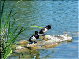 Tufted Ducks 2 by Lupsiberg