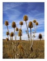 Thistles by Replicante