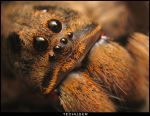 Lycosa close up by Techuser