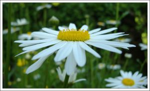 Big Daisy by aquifer